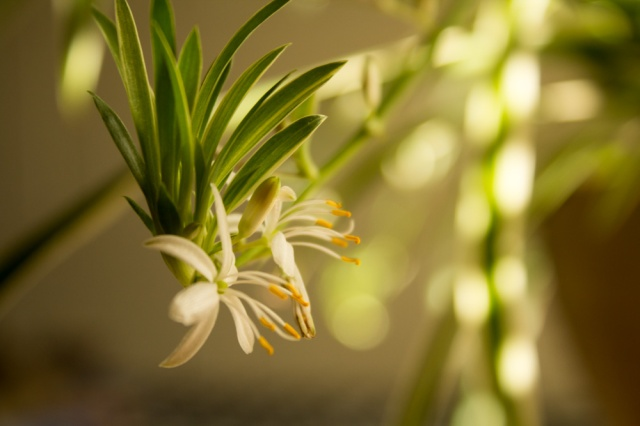 The flowering spider plant in all of its glory.